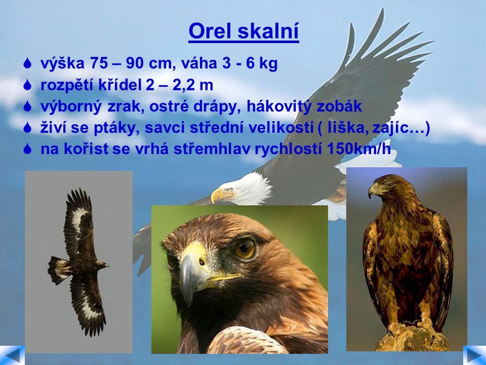 Orel skalní výška 75 – 90 cm, váha 3 - 6 kg rozpětí křídel 2 – 2,2 m