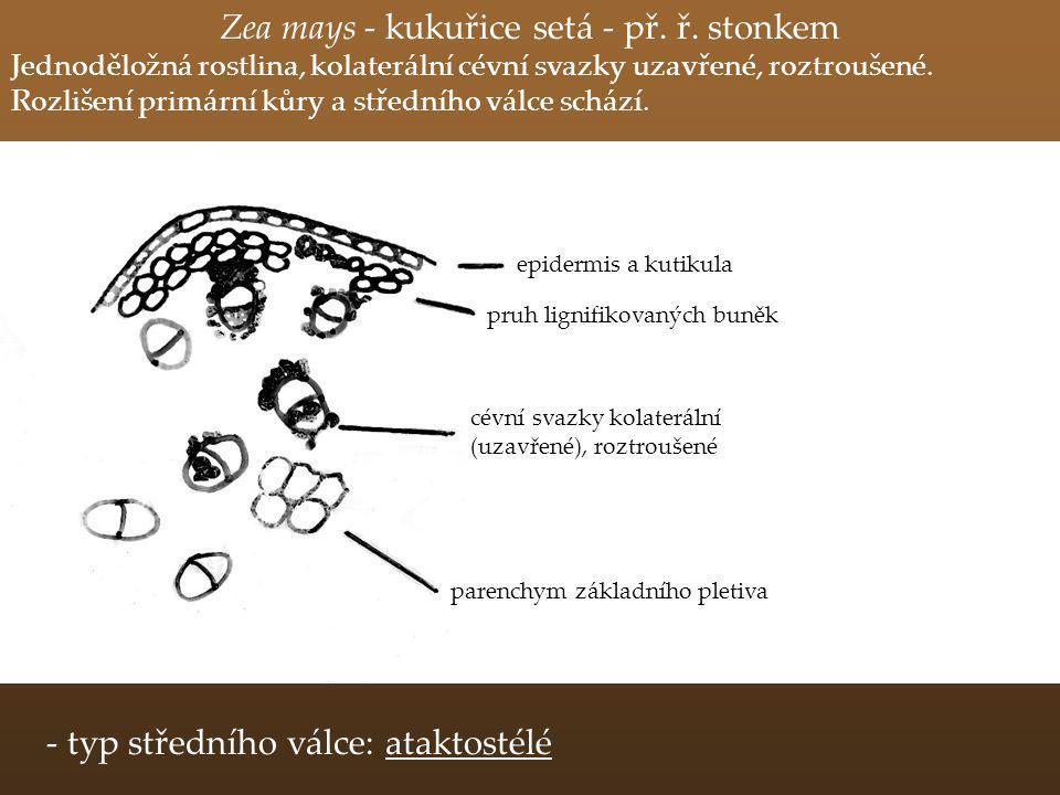Zea mays - kukuřice setá - př. ř. stonkem