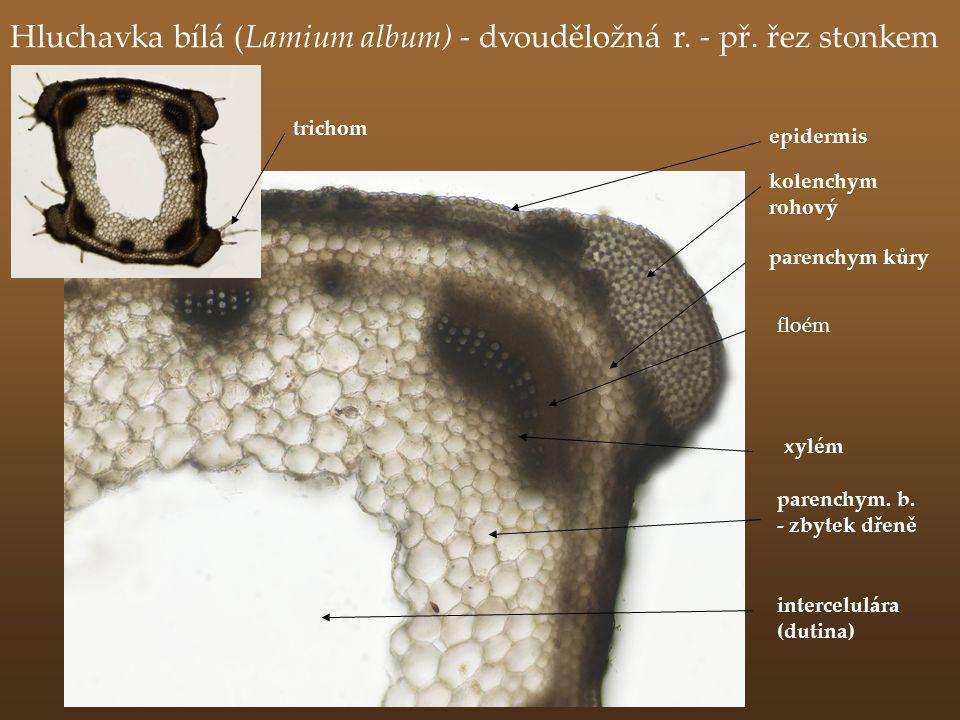 Hluchavka bílá (Lamium album) - dvouděložná r. - př. řez stonkem