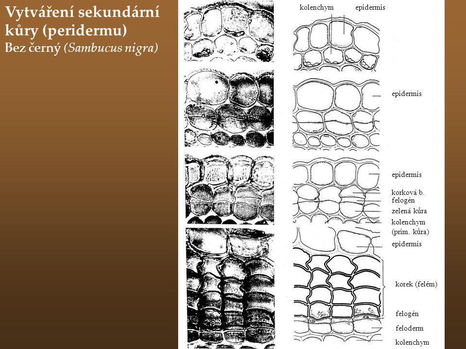 Vytváření sekundární kůry (peridermu)