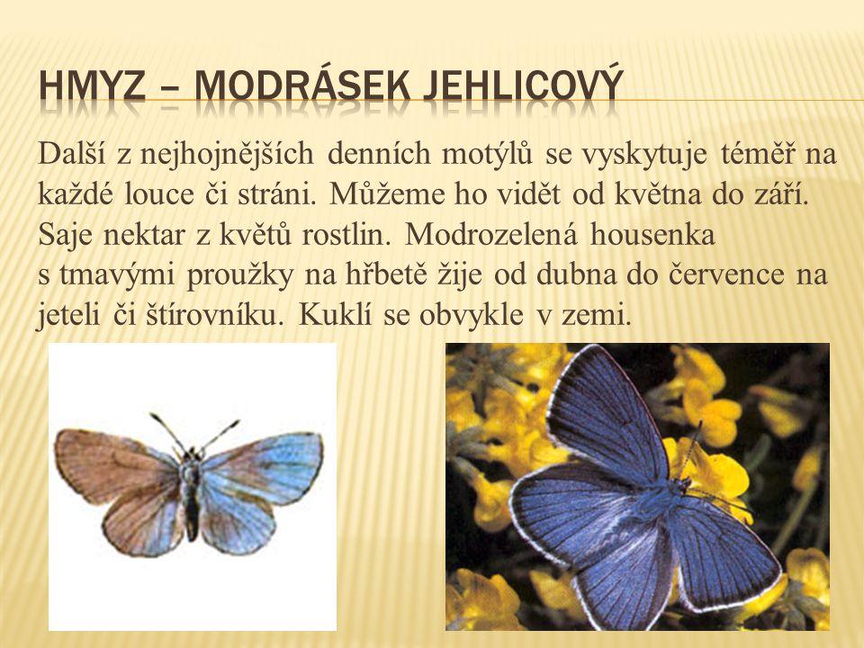 Hmyz – modrásek jehlicový