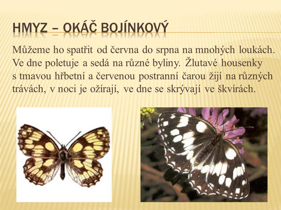 Hmyz – okáč bojínkový