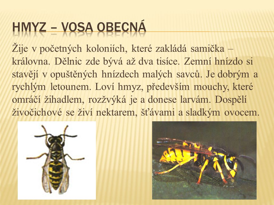 Hmyz – vosa obecná