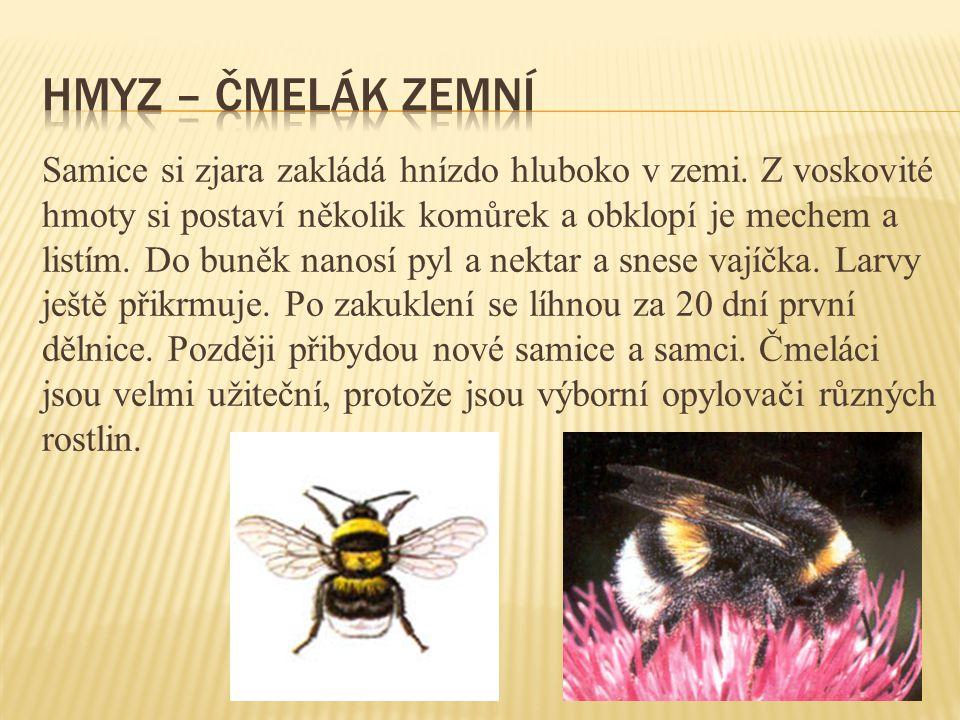 Hmyz – čmelák zemní