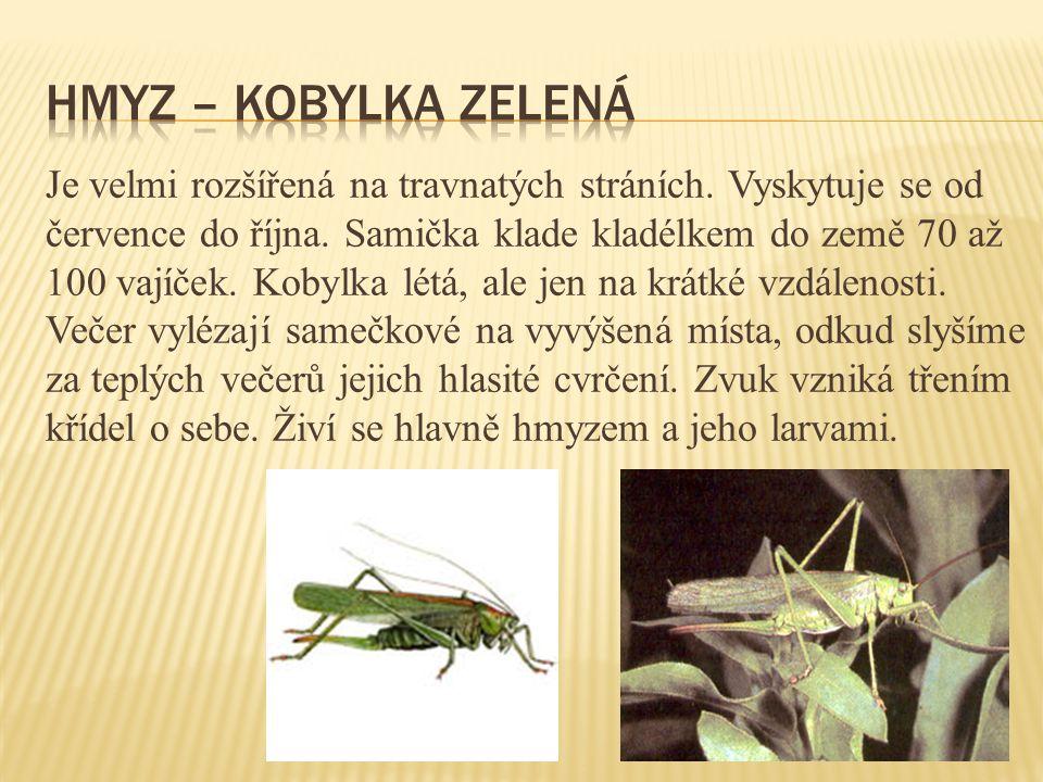 Hmyz – kobylka zelená