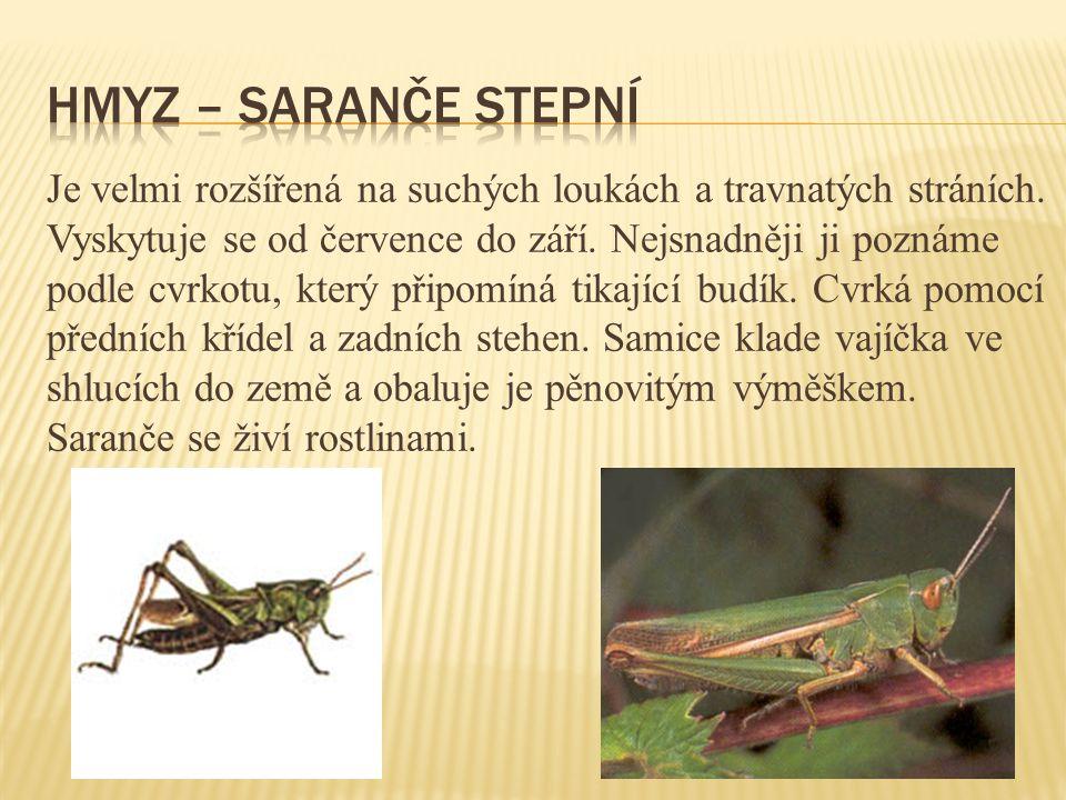 Hmyz – saranče stepní