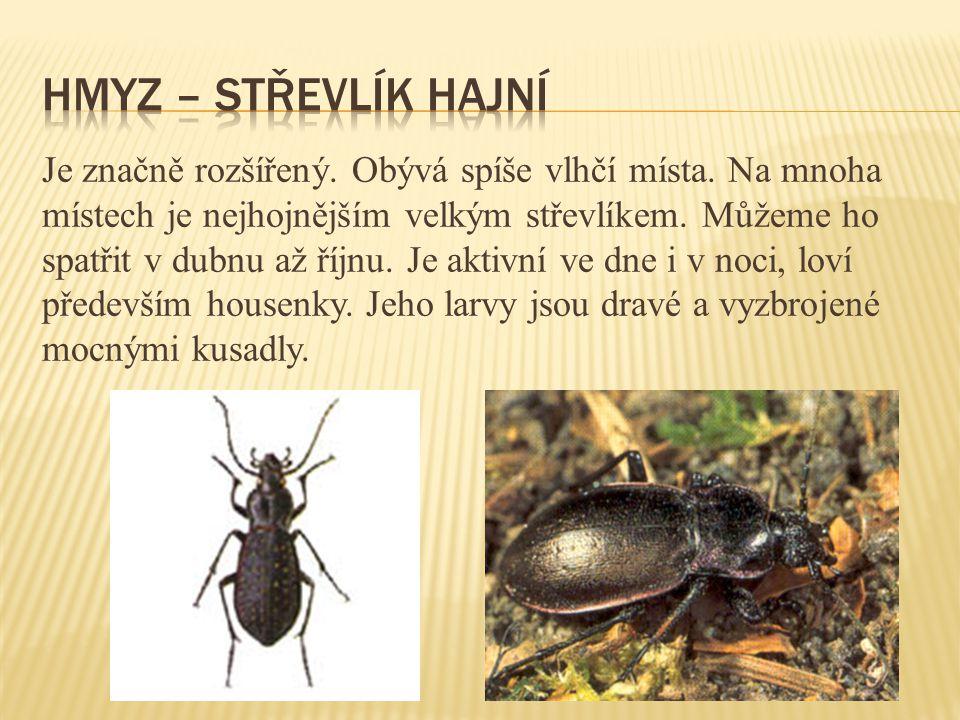 Hmyz – střevlík hajní