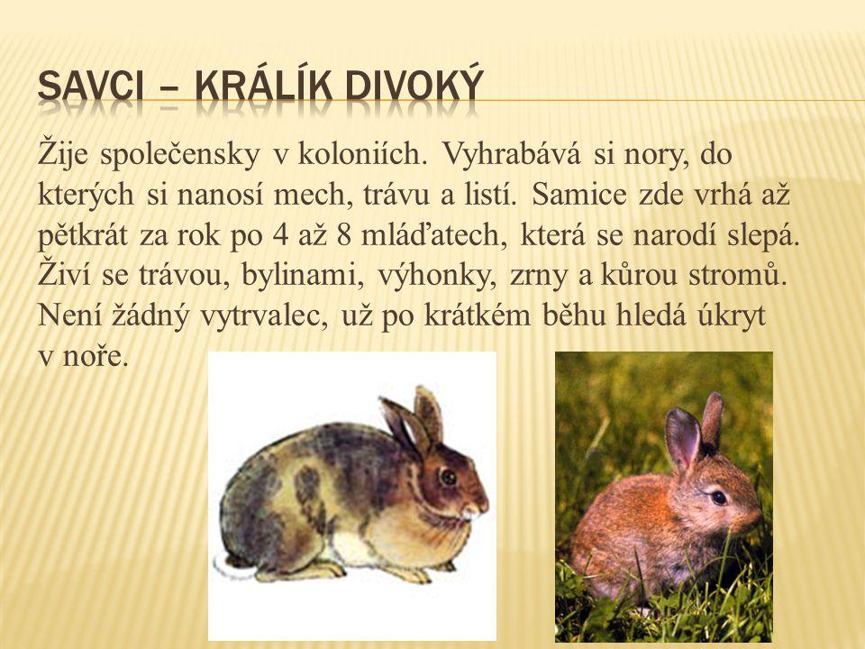 Savci – králík divoký