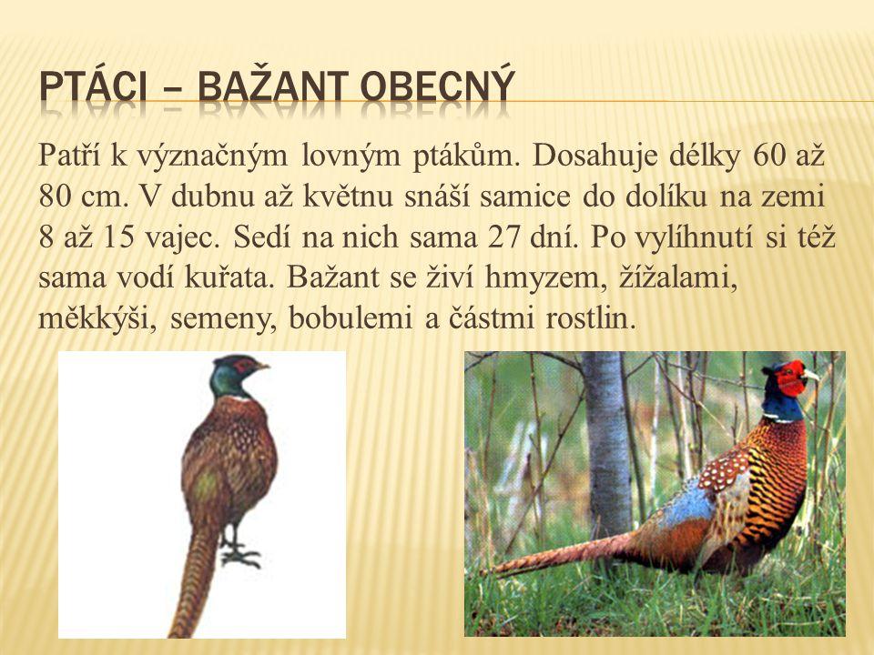 ptáci – bažant obecný