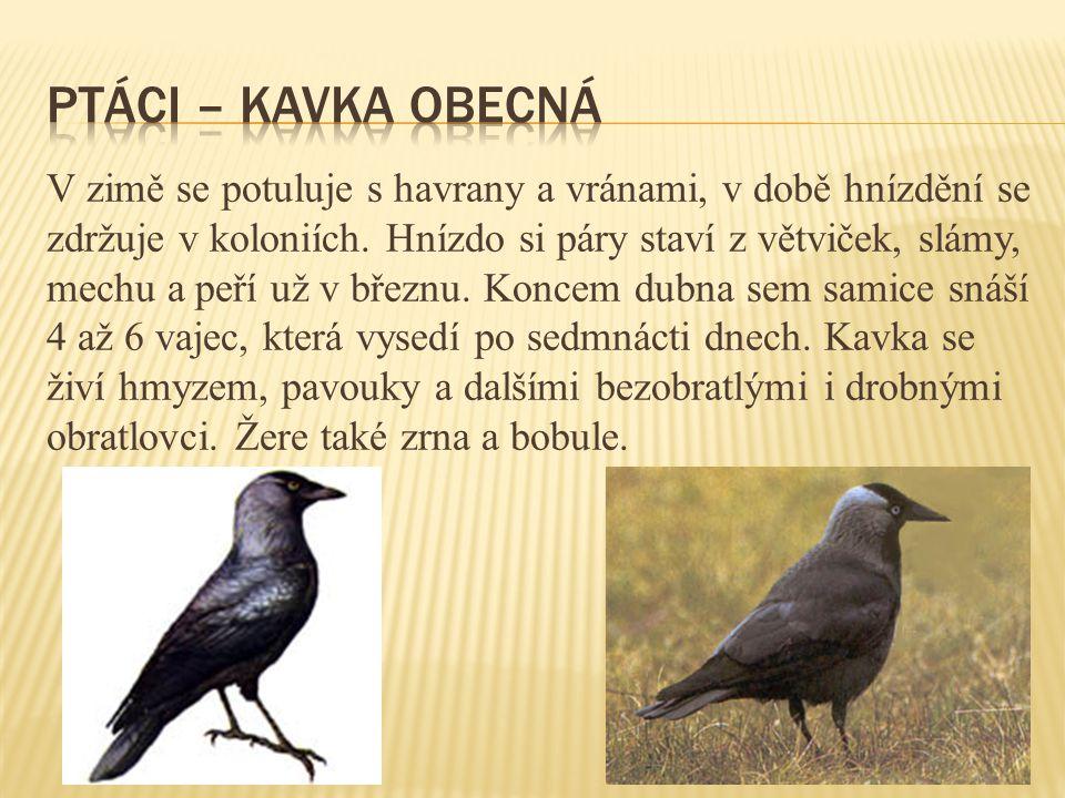 ptáci – kavka obecná