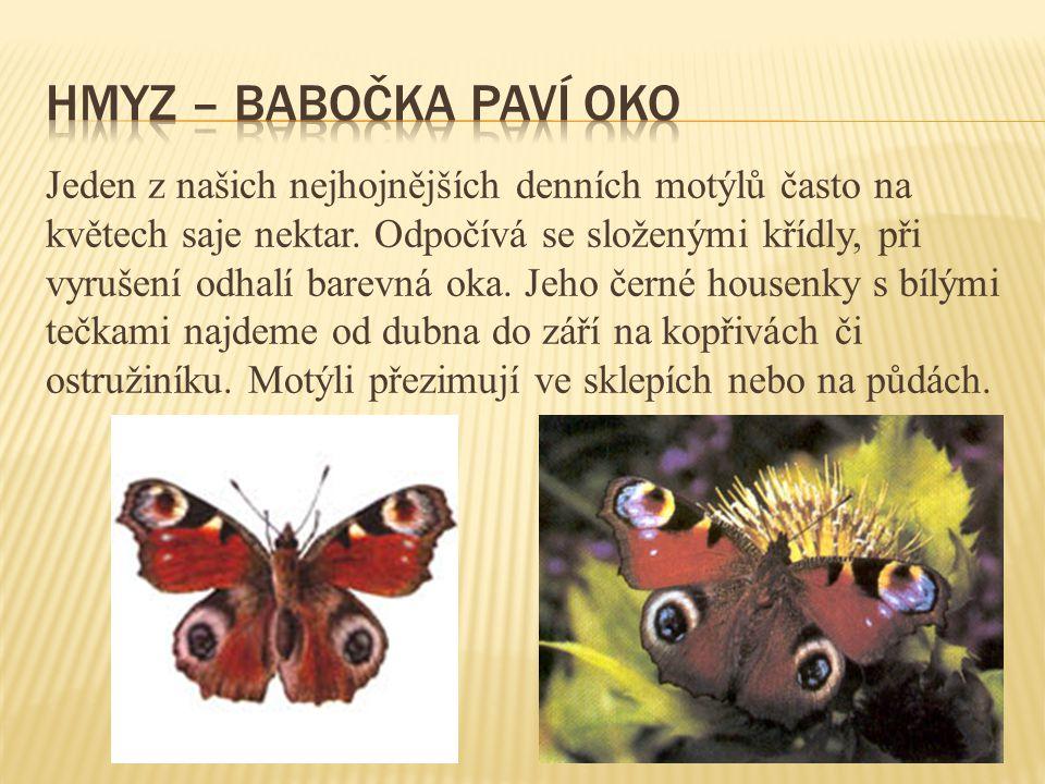 Hmyz – babočka paví oko