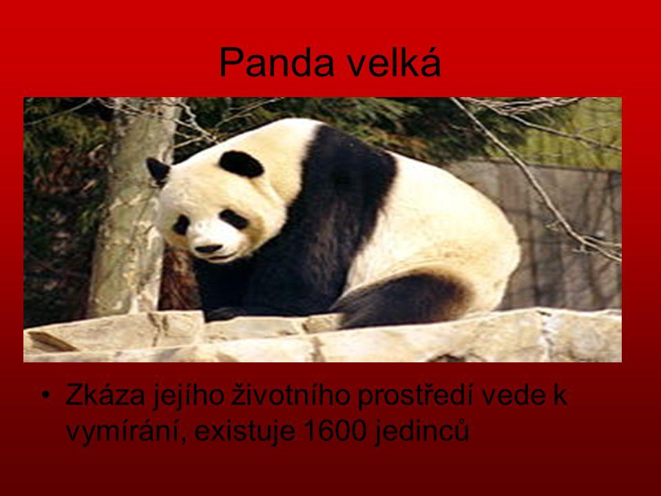 Panda velká Zkáza jejího životního prostředí vede k vymírání, existuje 1600 jedinců