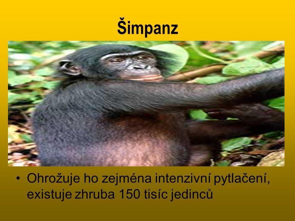 Šimpanz Ohrožuje ho zejména intenzivní pytlačení, existuje zhruba 150 tisíc jedinců