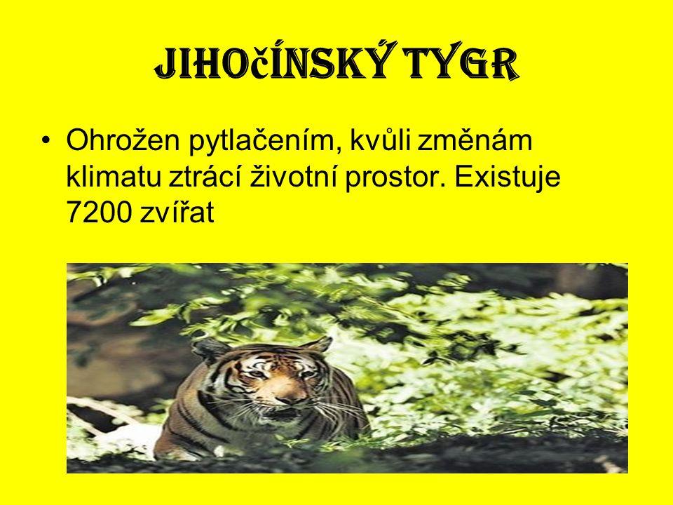 Jihočínský tygr Ohrožen pytlačením, kvůli změnám klimatu ztrácí životní prostor.