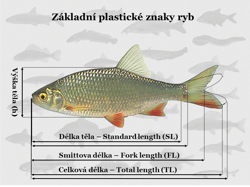 Základní plastické znaky ryb