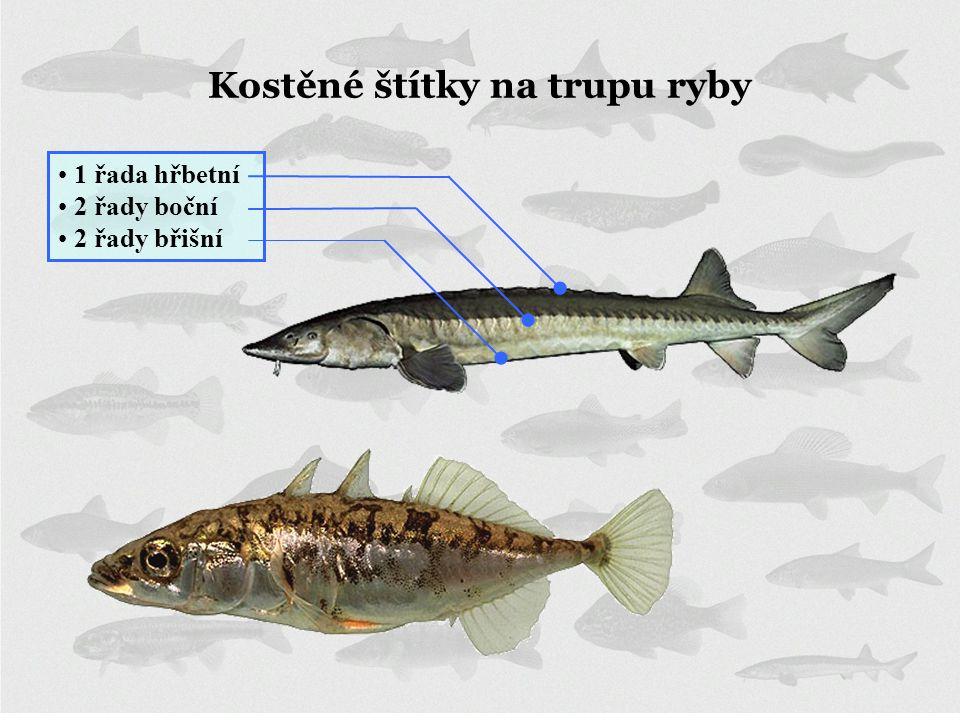 Kostěné štítky na trupu ryby