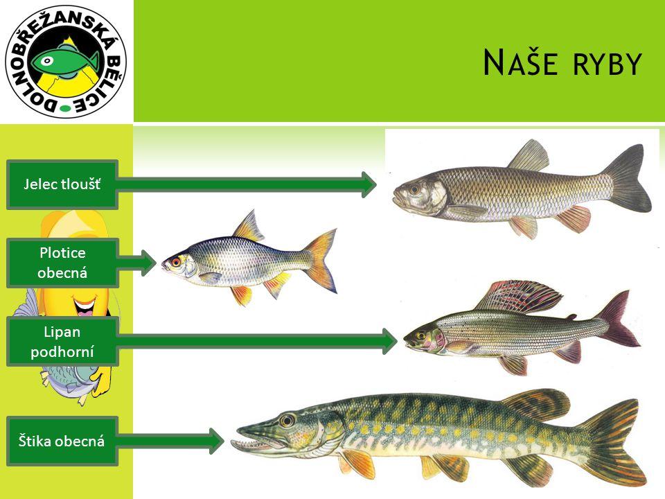 Naše ryby Jelec tloušť Plotice obecná Lipan podhorní Štika obecná