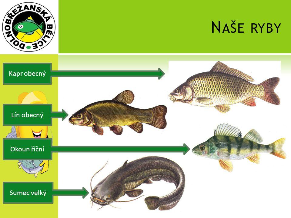 Naše ryby Kapr obecný Lín obecný Okoun říční Sumec velký