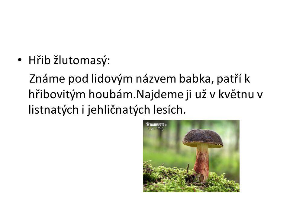 Hřib žlutomasý: Známe pod lidovým názvem babka, patří k hřibovitým houbám.Najdeme ji už v květnu v listnatých i jehličnatých lesích.