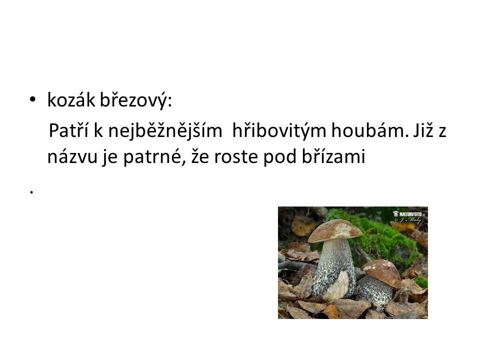 kozák březový: Patří k nejběžnějším hřibovitým houbám. Již z názvu je patrné, že roste pod břízami.