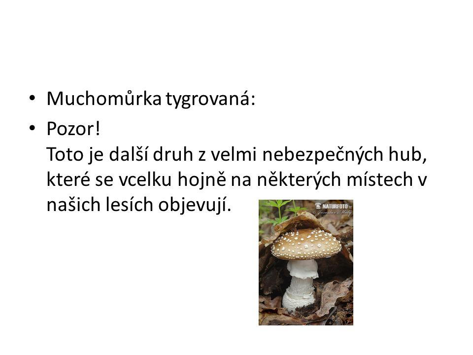 Muchomůrka tygrovaná: