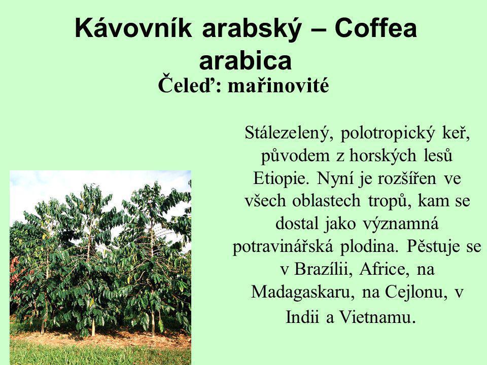 Kávovník arabský – Coffea arabica