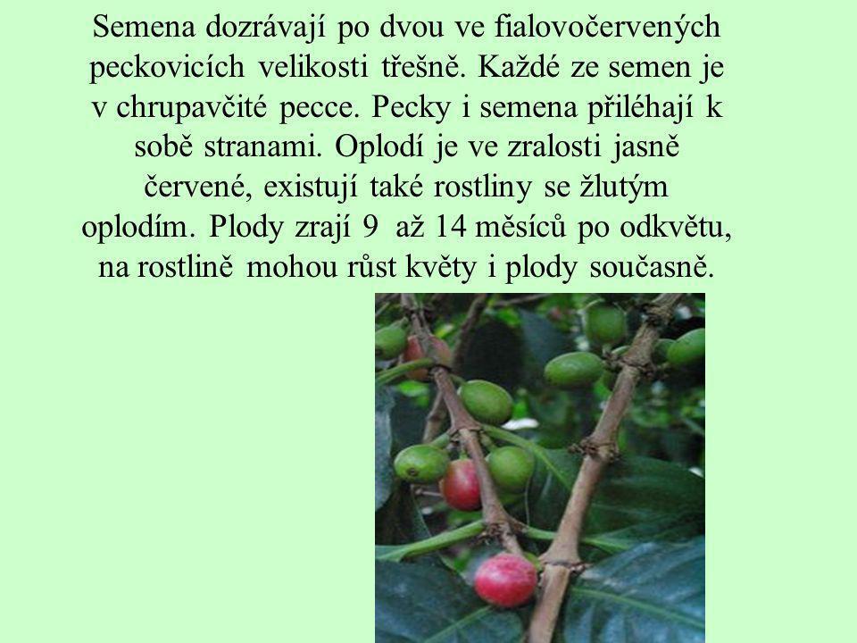 Semena dozrávají po dvou ve fialovočervených peckovicích velikosti třešně. Každé ze semen je v chrupavčité pecce. Pecky i semena přiléhají k sobě stranami. Oplodí je ve zralosti jasně červené, existují také rostliny se žlutým oplodím. Plody zrají 9 až 14 měsíců po odkvětu, na rostlině mohou růst květy i plody současně.