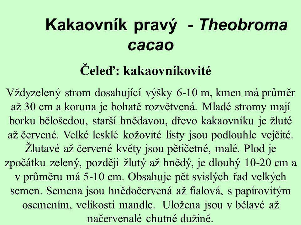 Kakaovník pravý - Theobroma cacao