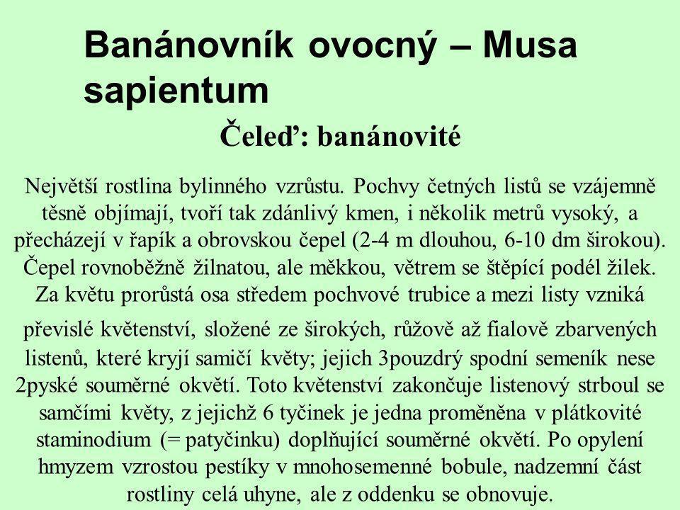 Banánovník ovocný – Musa sapientum