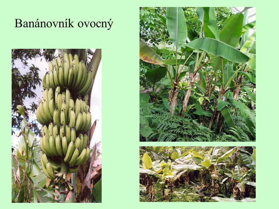 Banánovník ovocný