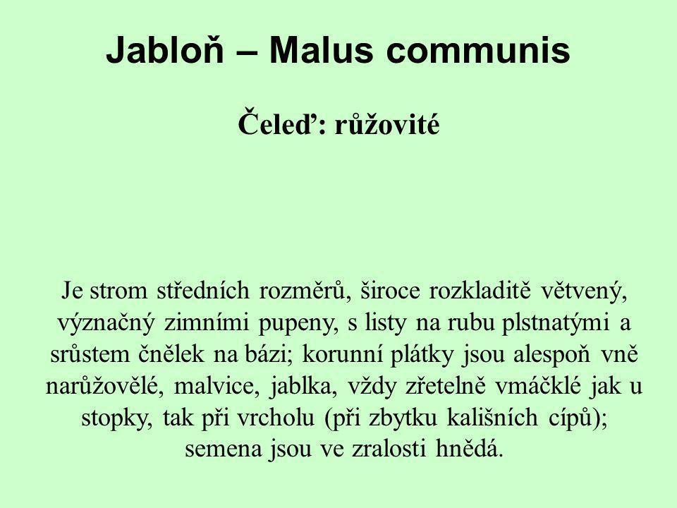 Jabloň – Malus communis
