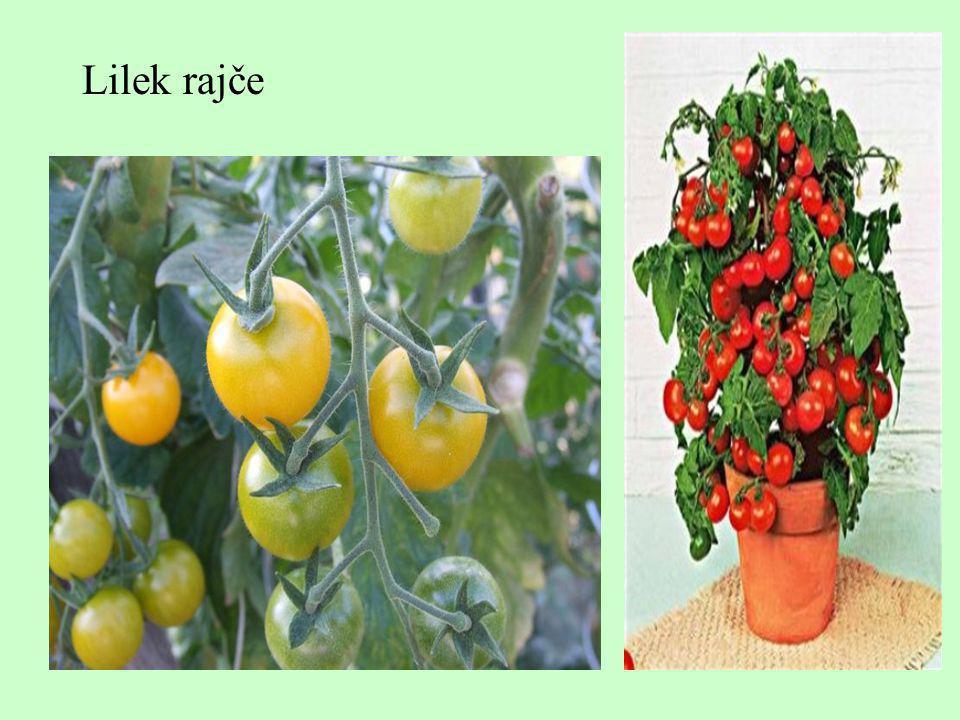 Lilek rajče