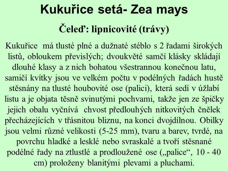 Kukuřice setá- Zea mays Čeleď: lipnicovité (trávy)