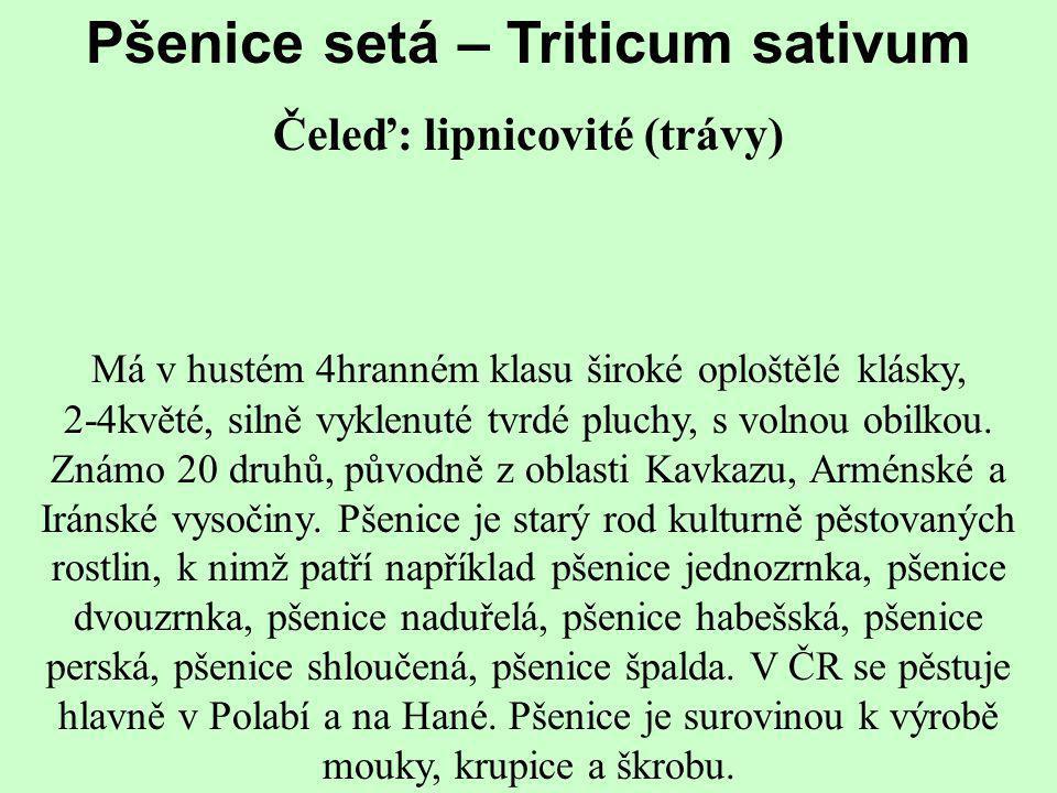 Pšenice setá – Triticum sativum Čeleď: lipnicovité (trávy)