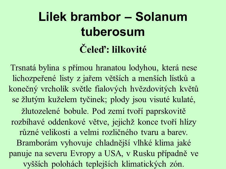 Lilek brambor – Solanum tuberosum