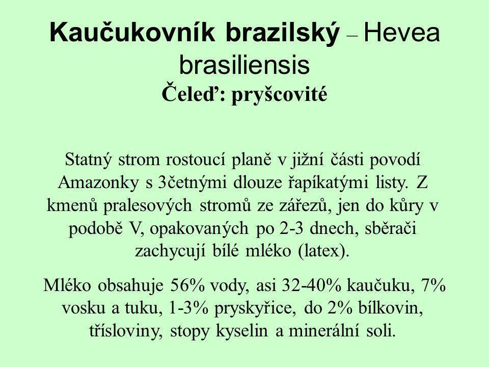 Kaučukovník brazilský – Hevea brasiliensis