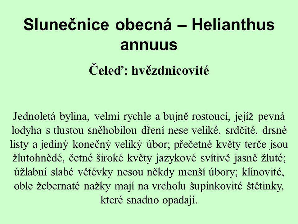 Slunečnice obecná – Helianthus annuus