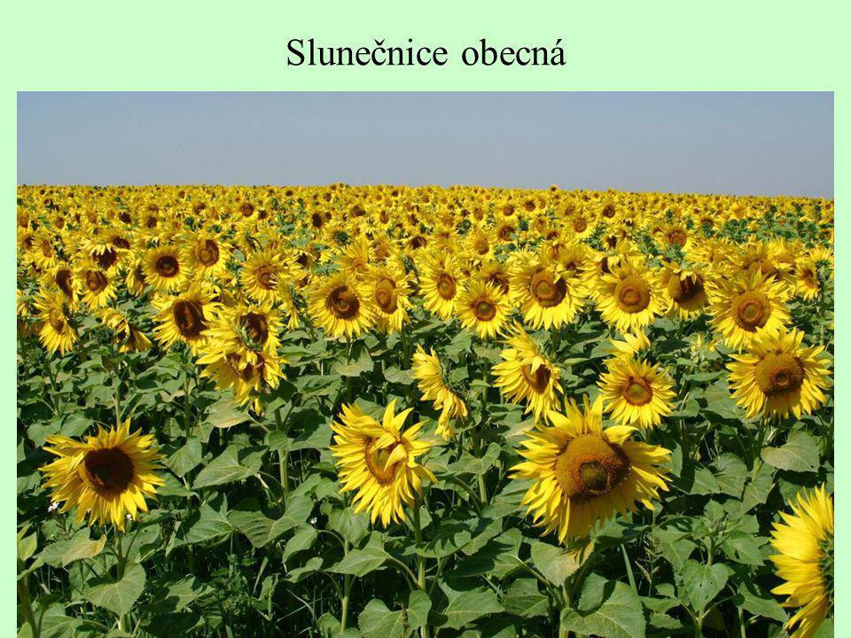 Slunečnice obecná