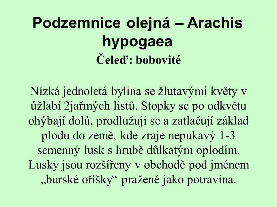 Podzemnice olejná – Arachis hypogaea