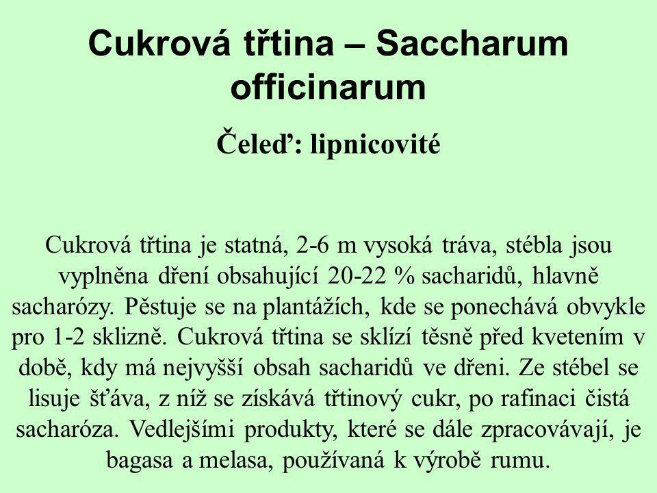 Cukrová třtina – Saccharum officinarum