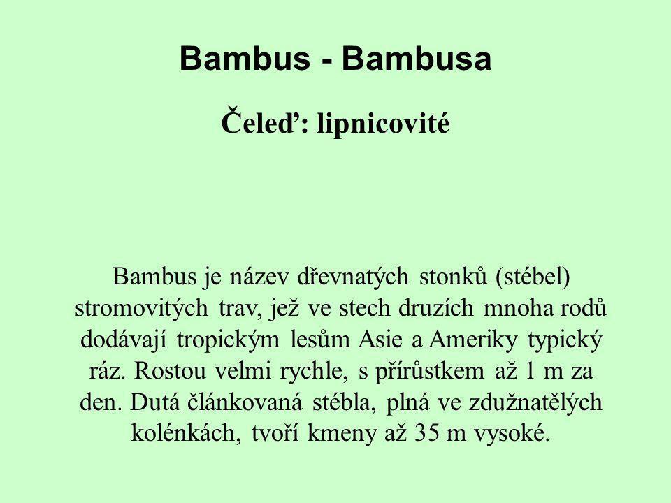 Bambus - Bambusa Čeleď: lipnicovité