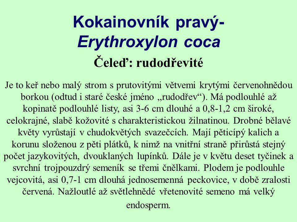 Kokainovník pravý- Erythroxylon coca