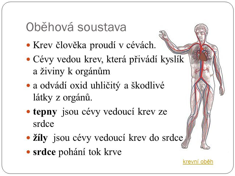 Oběhová soustava Krev člověka proudí v cévách.