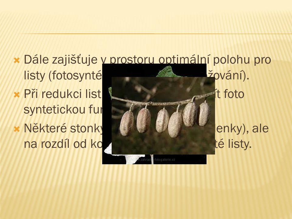 Dále zajišťuje v prostoru optimální polohu pro listy (fotosyntéza) a květy (rozmnožování).