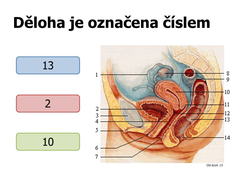 Děloha je označena číslem