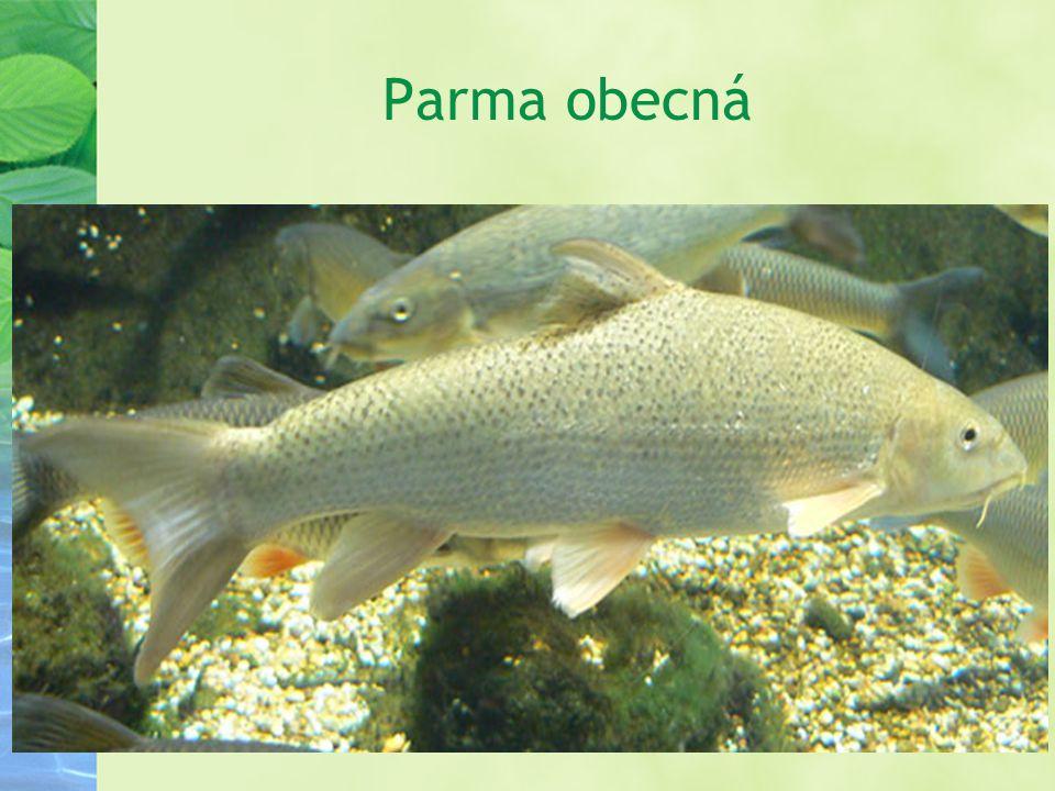 Parma obecná