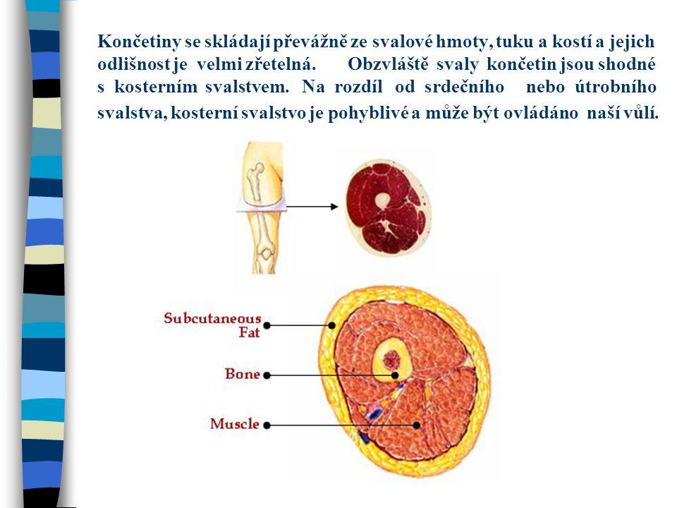 Končetiny se skládají převážně ze svalové hmoty, tuku a kostí a jejich odlišnost je velmi zřetelná.