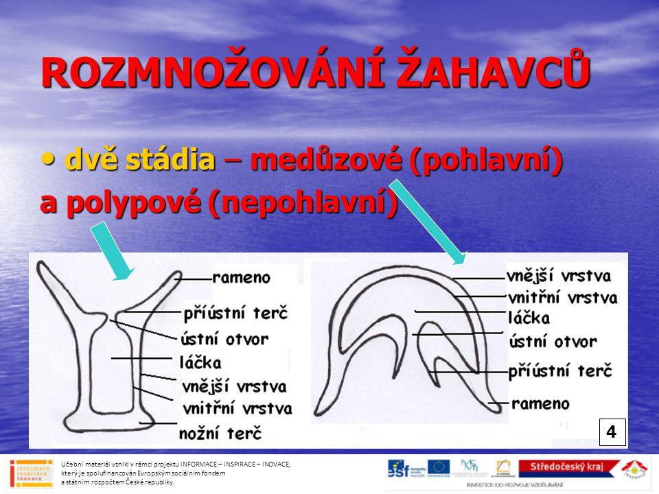 ROZMNOŽOVÁNÍ ŽAHAVCŮ dvě stádia – medůzové (pohlavní)