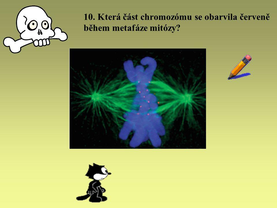 10. Která část chromozómu se obarvila červeně během metafáze mitózy