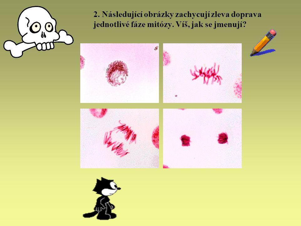 2. Následující obrázky zachycují zleva doprava jednotlivé fáze mitózy